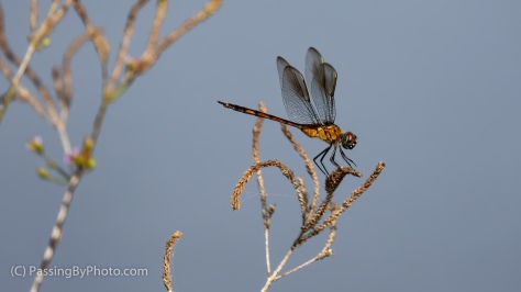 Late Summer Dragonfly
