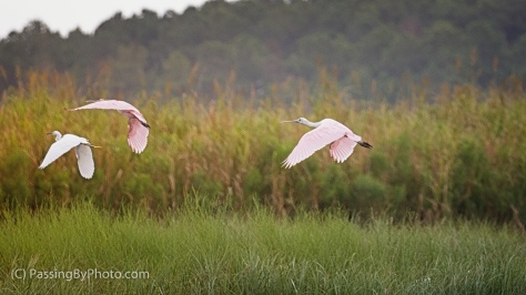 Roseate Spoonbills and Great Egret Taking Off