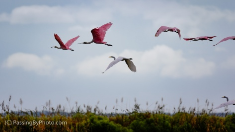 Roseate Spoonbills and Great Egrets Taking Off