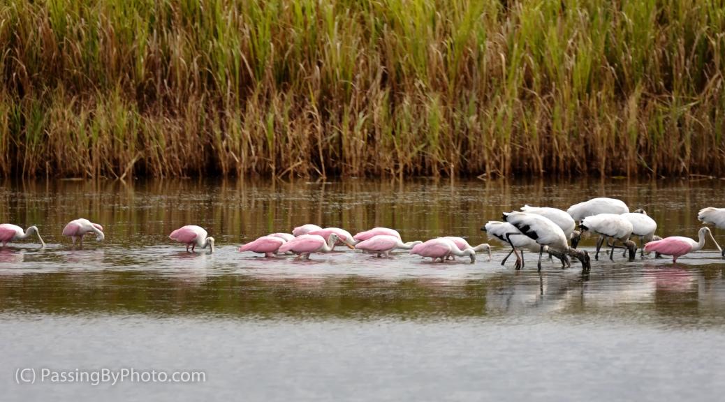 Wood Storks and Roseate Spoonbills Feeding