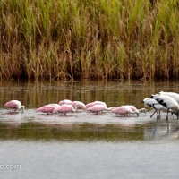 Spoonbills and Wood Storks Feeding