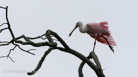 Roseate Spoonbill Stretching