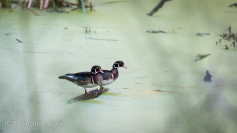 Two Male Wood Ducks