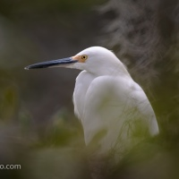 Great Egret, THrough A Tree