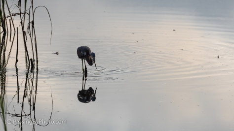 Tricolored Heron with Breakfast