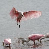 Roseate Spoonbill Landing