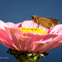 Skipper on Zinnia, Eye Level