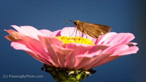 Skipper on Zinnia