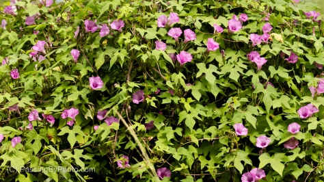 Pink Morning Glories