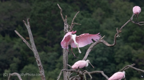 Roseate Spoonbill Landing in the Spoonie Tree