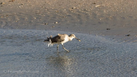 Wind Pushed Willet On The Hunt