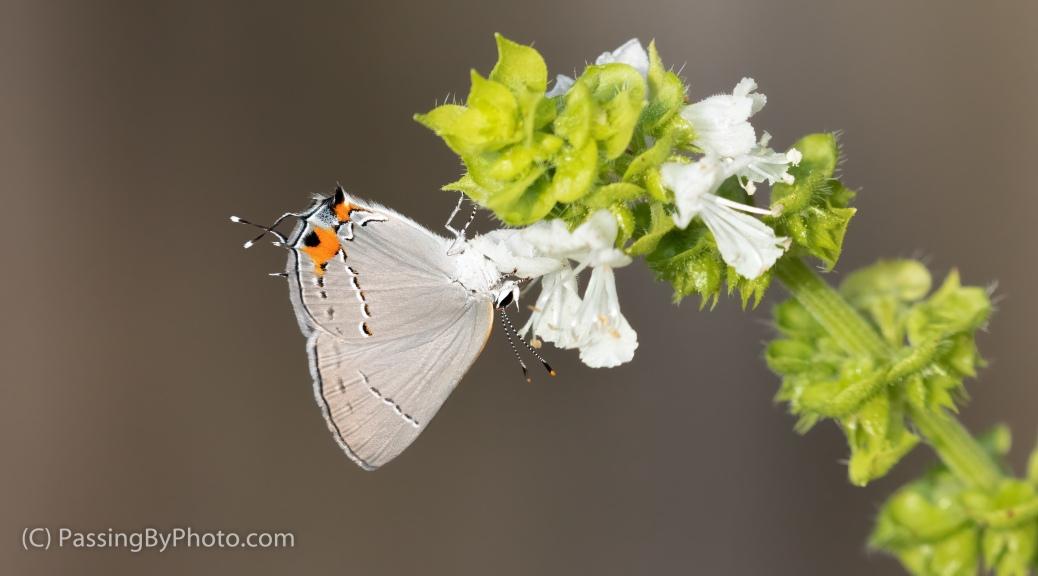 Gray Hairstreak Butterfly on Basil Flower