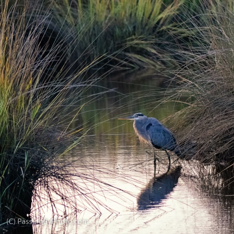 Great Blue Heron at Edge of Grass