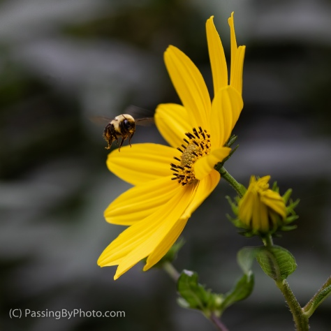Swamp Sunflower And Bee