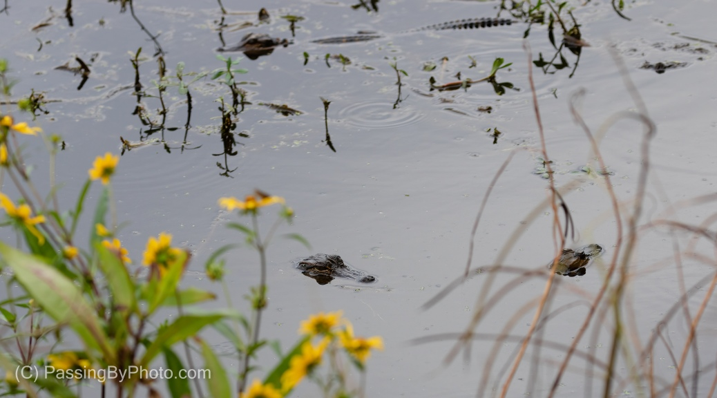 Juvenile Alligators With Swamp Sunflowers