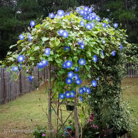 Blue Morning Glories on Arbor