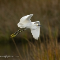 Snowy Egret Flying