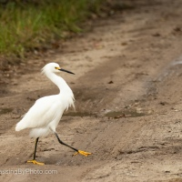 Snowy Egret Showing Off