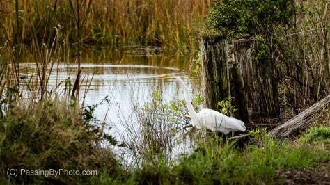 Great Egret at Edge of Marsh