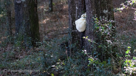 White Fungus on Tree