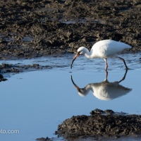 White Ibis, Working A Mud Flat