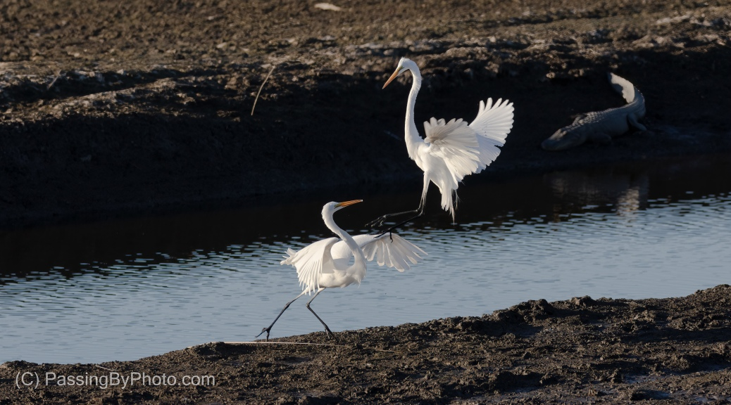 Great Egret Territorial Display