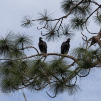 Black Vultures In Pines
