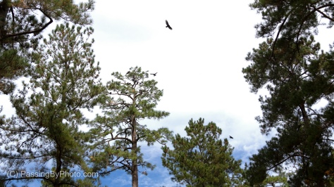 Black Vultures in Pine Trees