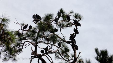 Black Vultures in PinBlack Vultures in Pine Treese Trees