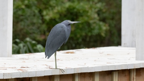 Little Blue Heron on Long White Bridge