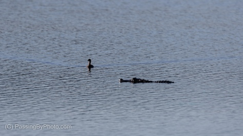 Alligator and Grebe