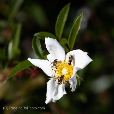 Bees on White Flower