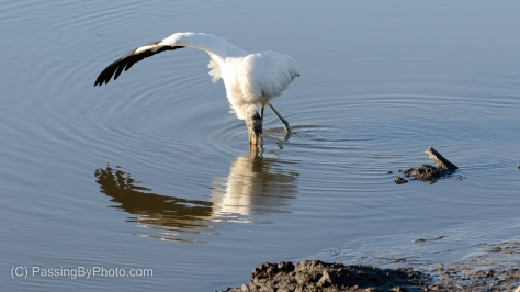 Feeding Wood Stork