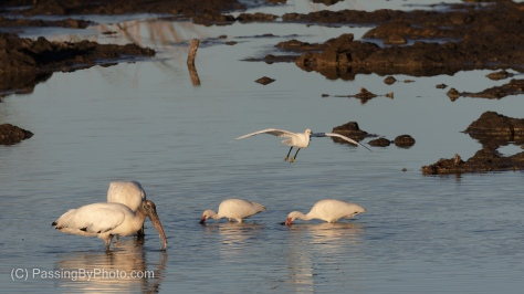 Incoming Snow Egret, Over Wood Storks and White Ibis