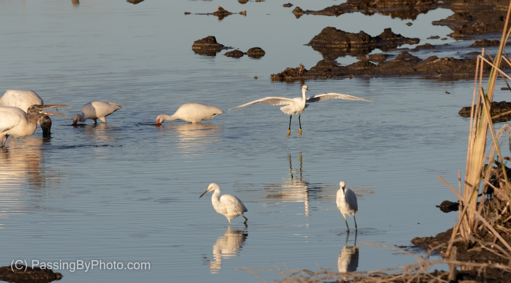 Incoming Snowy Egret, Over Wood Storks and White Ibis
