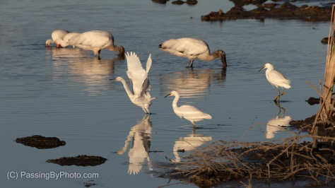 Exiting Snow Egret, Over Wood Storks and White Ibis