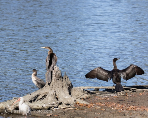 Anhinga and Cormorants