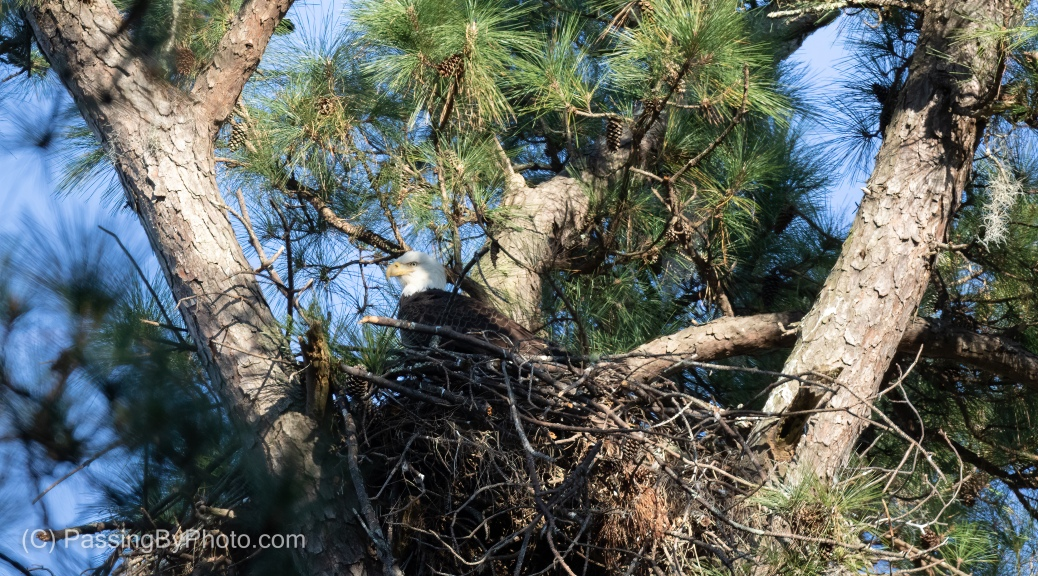 Bald Eagle in Nest