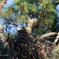 Bald Eagle Pair, Nest