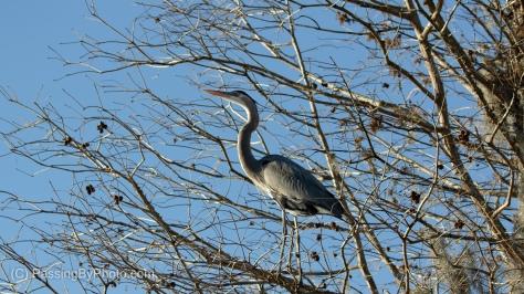 Great Blue Heron Standing in Tree