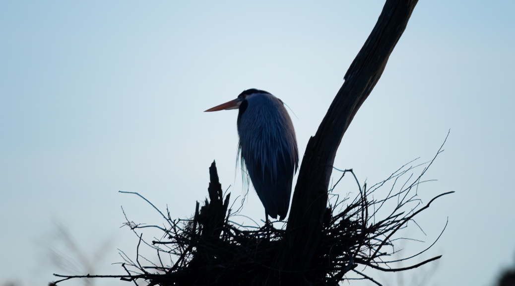 Great Blue Heron Standing on Nest