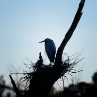 Great Blue Heron, Artsy Nest