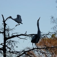 Great Blue Heron Singing for a Mate
