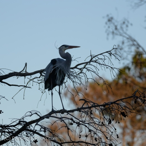 Great Blue Heron Waiting For A Mate