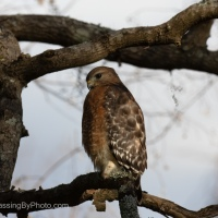 Wordless Wednesday: Red-shouldered Hawk