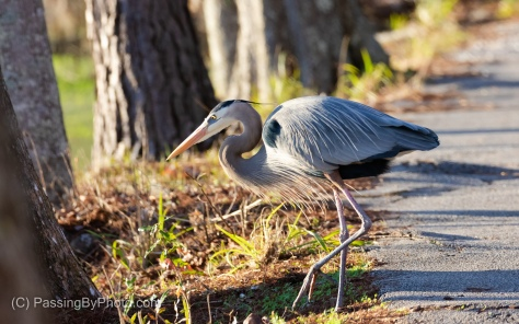 Great Blue Heron Looking for Nest Material