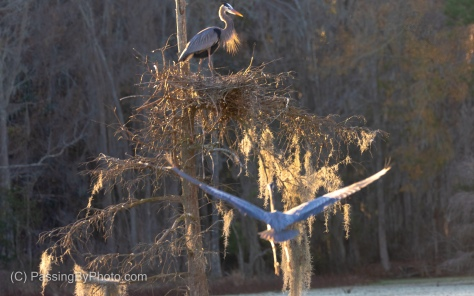 Great Blue Heron Flying to Mate in Nest
