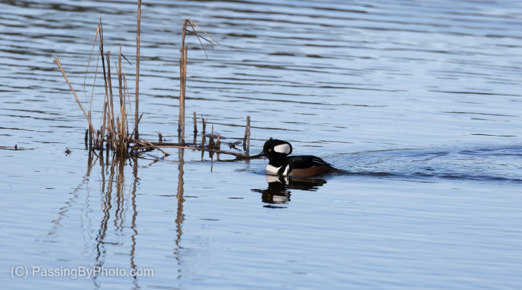 Male Hooded Merganser, Reeds