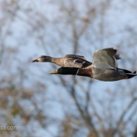 Mallard Pair Flying By