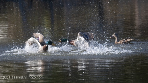 Two Male Mallards Squabbling